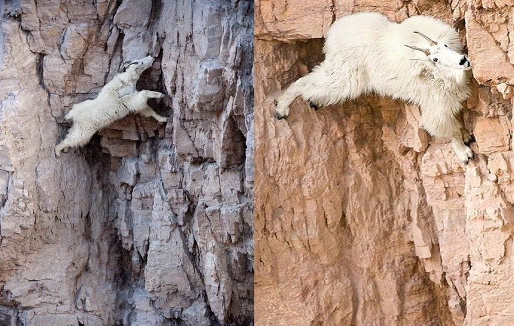 Mountain goat meme