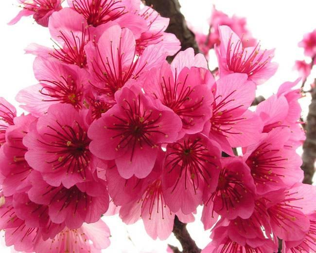 Цветы сакуры.фото