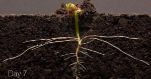 Торжество жизни: замедленная съемка роста семян (срез земли!)