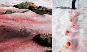 Арбузный снег: почему в горах снег становится красным и сладко пахнет арбузом