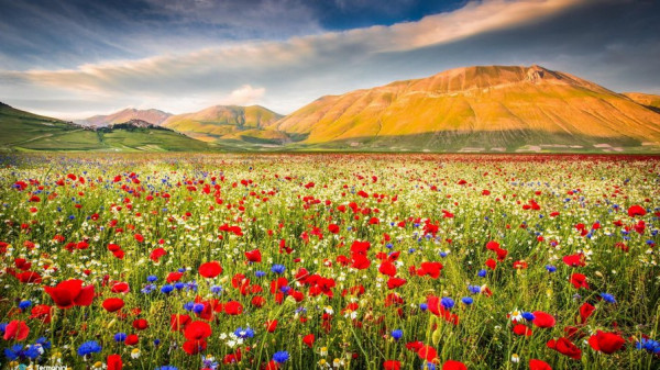 Полевые цветы в фотографиях и стихах