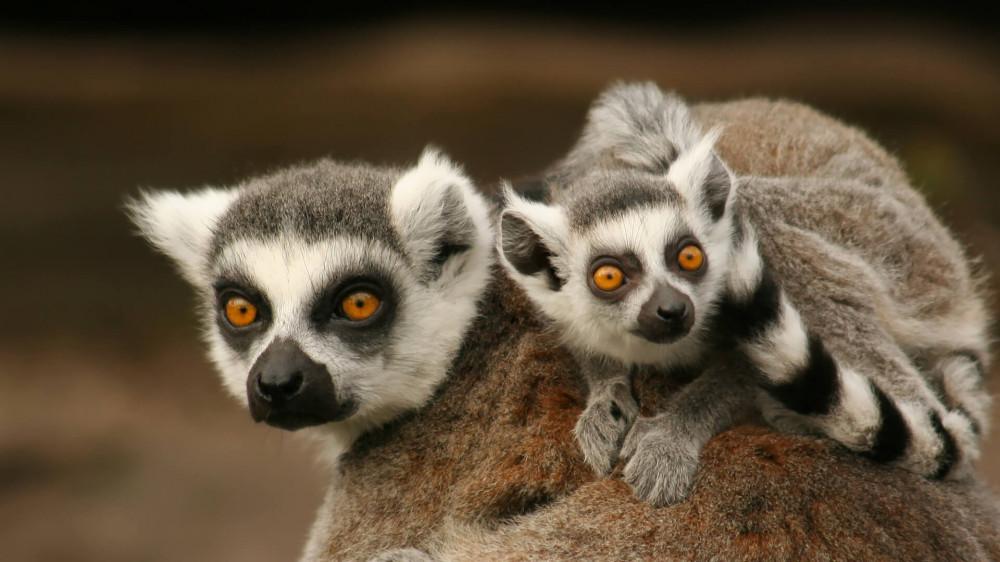 http://c0.emosurf.com/0003QY00cuwk0g8/animals_hero_lemurs.jpg
