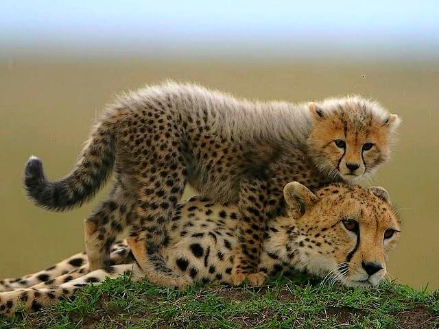http://c0.emosurf.com/0003QZ00lJKE0g8/Baby-Cheetah-in-Masai-Mara-National-Reserve-Kenya-Africa.jpg
