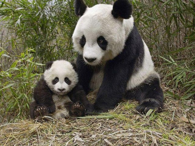 http://c0.emosurf.com/0003Ra00AsCo0g8/28b3c8bbd1312e95ae82287bd82a05e5--baby-pandas-giant-pandas.jpg