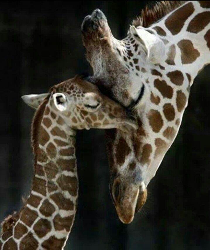 http://c0.emosurf.com/0003Rb00jWU90g8/f9bb2c29fbbc0a99ff1dd8a1de71b8b1--baby-giraffes-mom-and.jpg