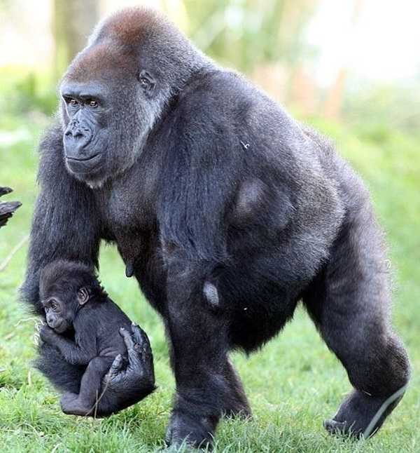 http://c0.emosurf.com/0003Rd00d9l30g8/animals-carrying-their-baby-13.jpg